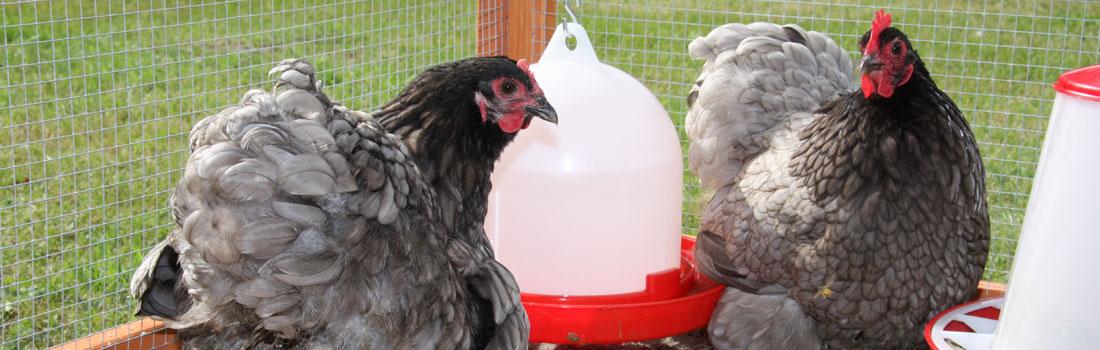 billeder af høns