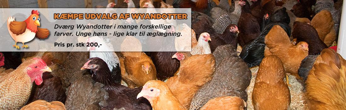 Hønsebyen - høns til salg