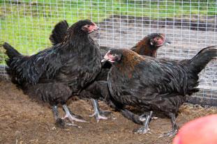 Hønseracer